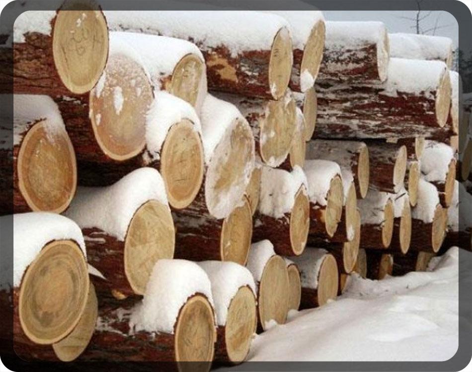 Стволы сосен – сырьё, из которого впоследствии получится вагонка самого высоко класса