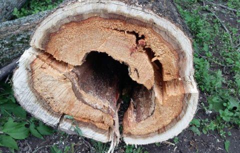 Дерево, пораженное сердцевинной гнилью