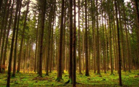 Хвойные леса в северных российских широтах